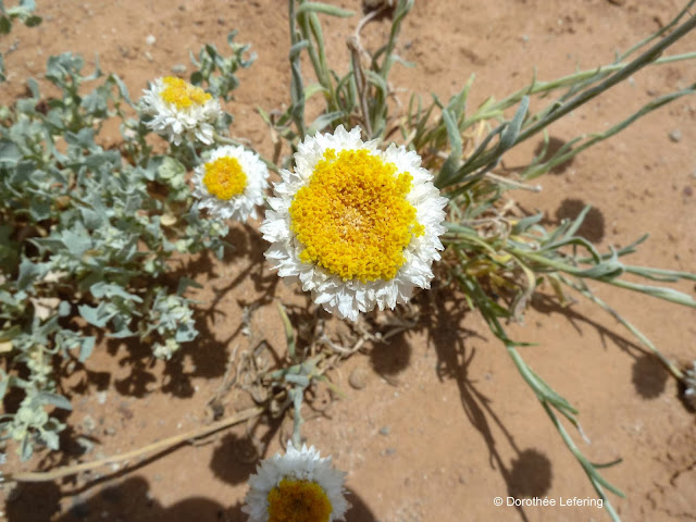 A yellow white-rimmed Poached Egg Daisy flower growing on a red sand dune.
