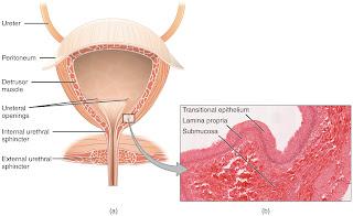 the human bladder and urethra