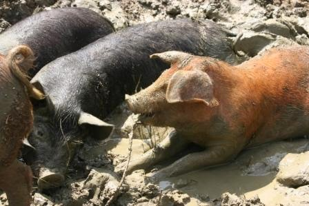 image: pigs in the wallow on the HenSafe smallholding