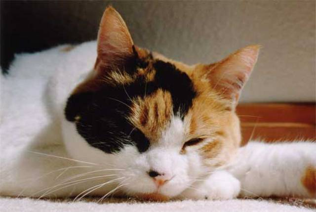 Pictures Of Female Calico Cats - Funny Pic-6281