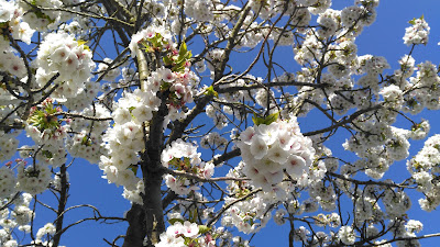 Blossom, blue skies and bees