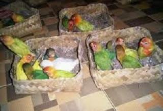 merawat anakan lovebird umur 1 bulan,cara merawat anakan lovebird umur 2 minggu,cara merawat anakan lovebird yang baru menetas,cara merawat anakan lovebird umur 3 bulan,