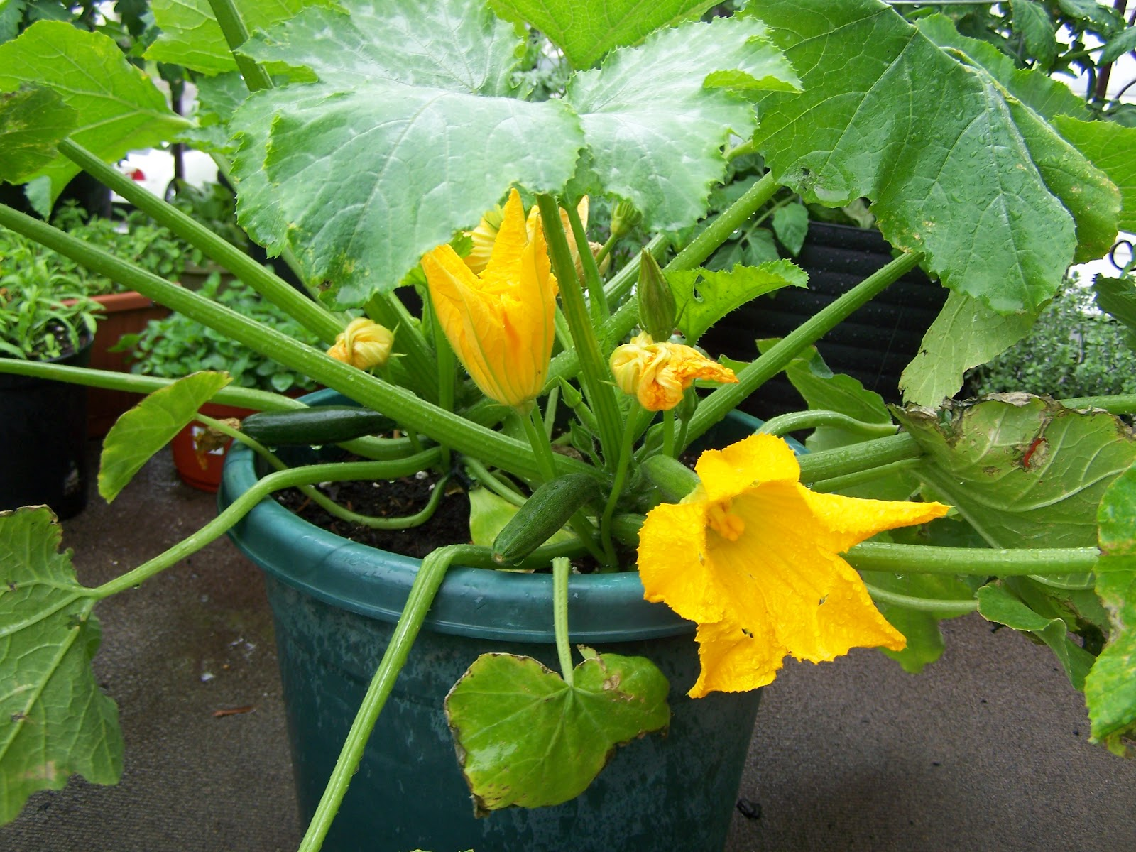 captive roots zucchini in containers some thoughts for a rainy day. Black Bedroom Furniture Sets. Home Design Ideas