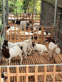 Bán dê giống tại trại dê Tiến Đạt