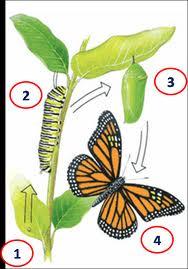 Actividad N3 Representación De La Metamorfosis De La Mariposa El