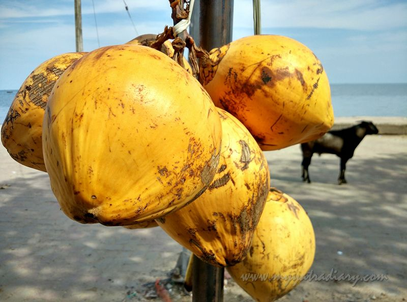 Coconut in Rameshwaram, Tamil Nadu