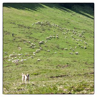 Nyáj és pásztorkutya a Mócok templomától nem messze