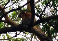 Koala Spotting at Otway Coast