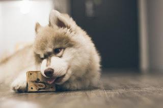 Chiot avec son jouet