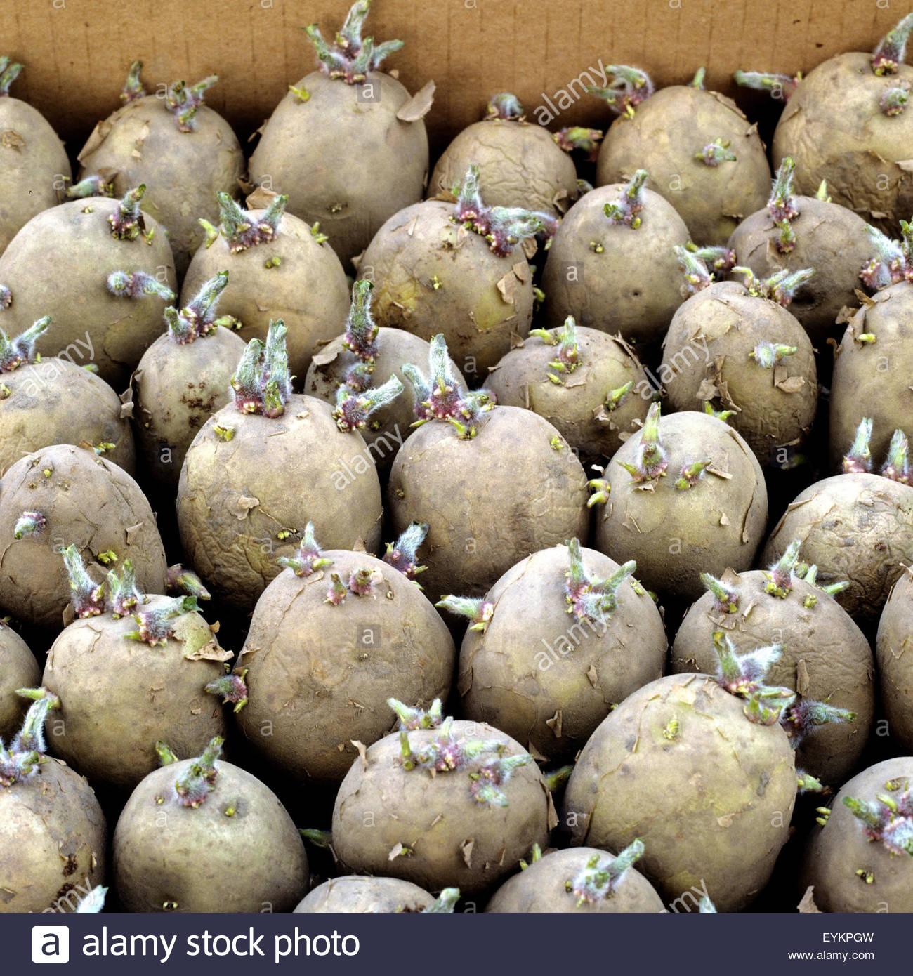 Keimende Kartoffeln Schwangerschaft