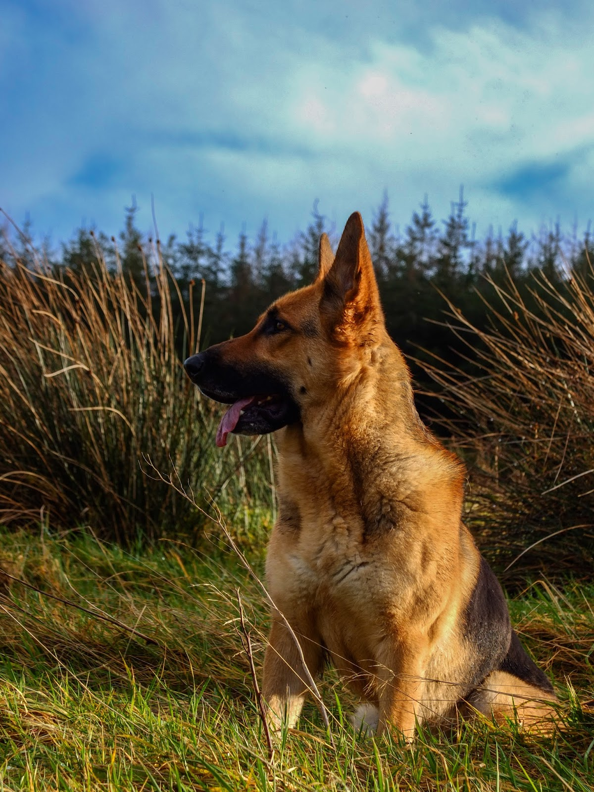 German Shepherd female sitting on a hill in tall grass.