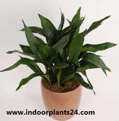 Aspidistra Eatior Liliaceae indoor house plant image