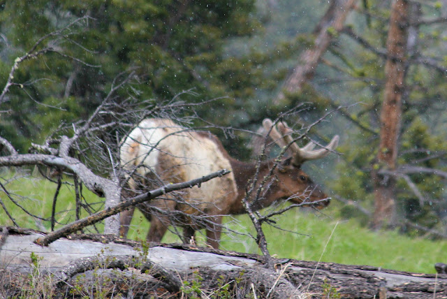 elk, velvet, Yellowstone, http://bec4-beyondthepicketfence.blogspot.com/2016/05/work-hard-play-hard.html