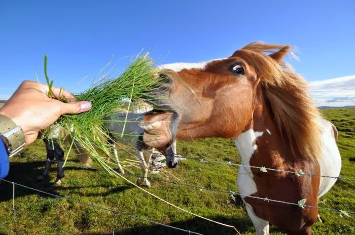 Funny animals of the week - 14 February 2014 (40 pics), horse get some grass from human