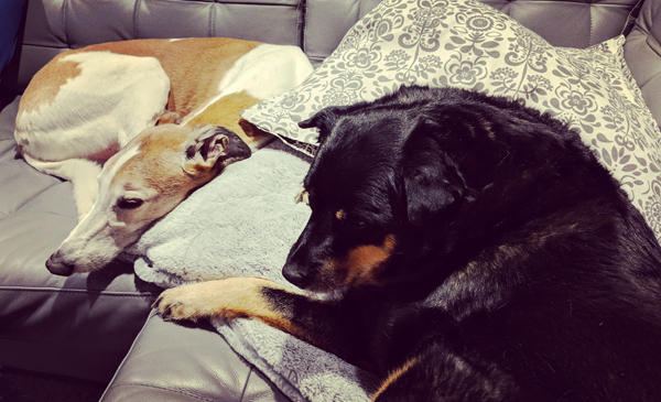 image of Dudley the Greyhound and Zelda the Black and Tan Mutt curled up on the sofa
