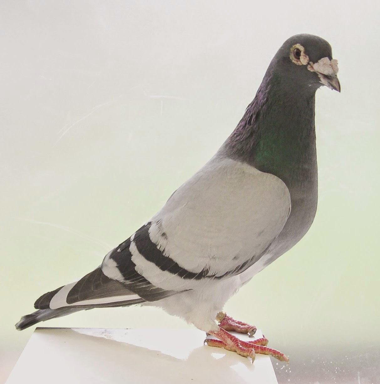 Merawat Burung Merpati Balap warna megan