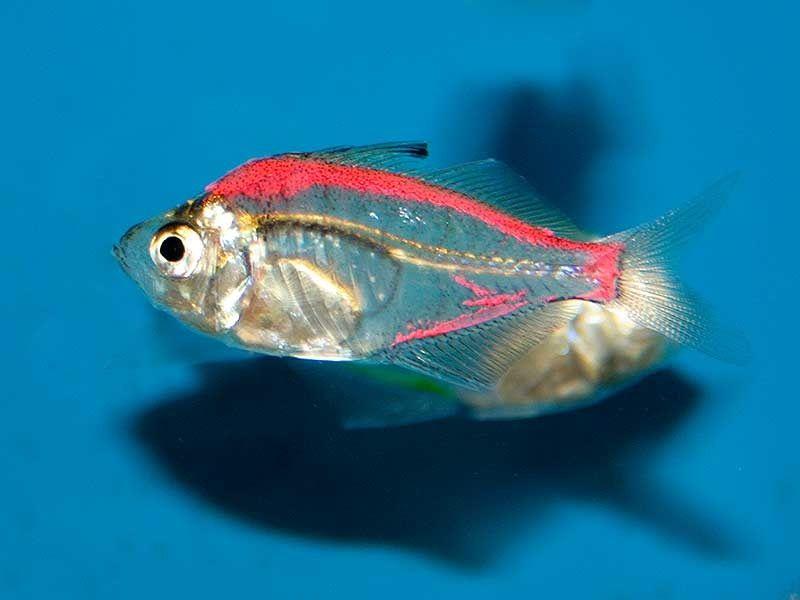 Gambar Ikan Kaca ( Glass Fish ) - Teman Ikan Guppy
