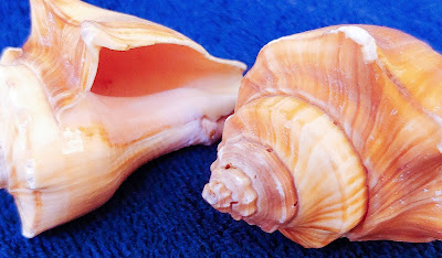 two conical, empty sea shells
