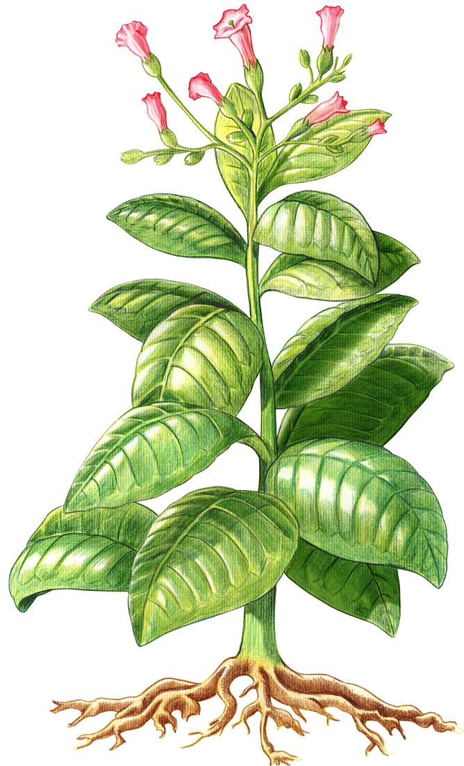 0 - JUEGO SIGUE LA IMAGEN  II - Página 47 Planta_tabaco