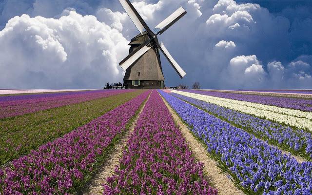 Molen en veld vol bloemen in verschillende kleuren