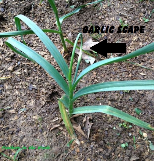 Garlic scapes, growing garlic