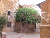 The Burning Bush from Biblical fame, St. Catherine's Monastery, base of Mt. Sinai, Egypt