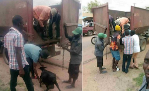 Minna Government Administration Agenda Is To Arrest Stray Animals In The State .. What Happened Will Surprise You!