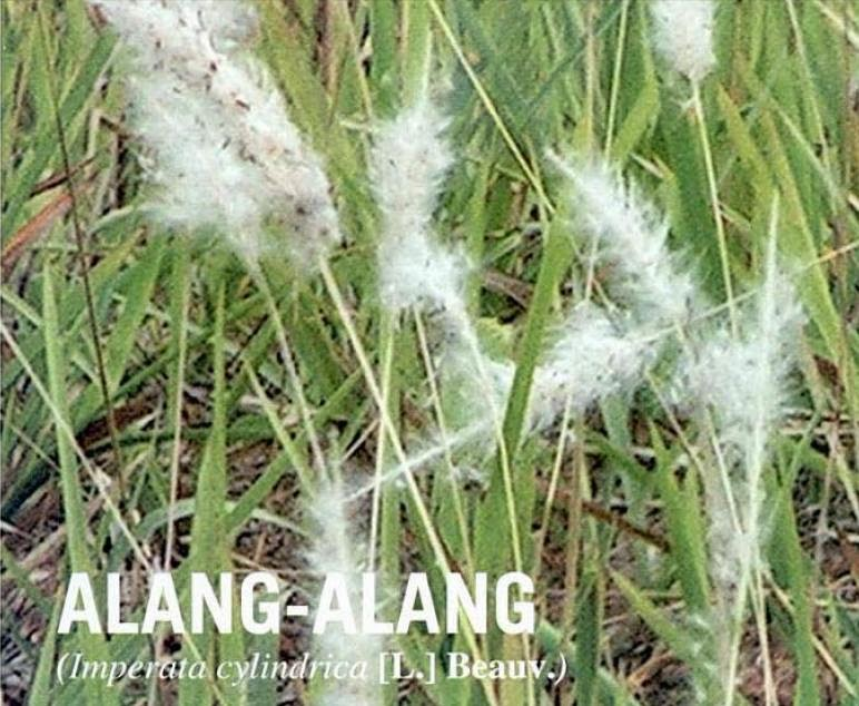 Alang-alang indonesia