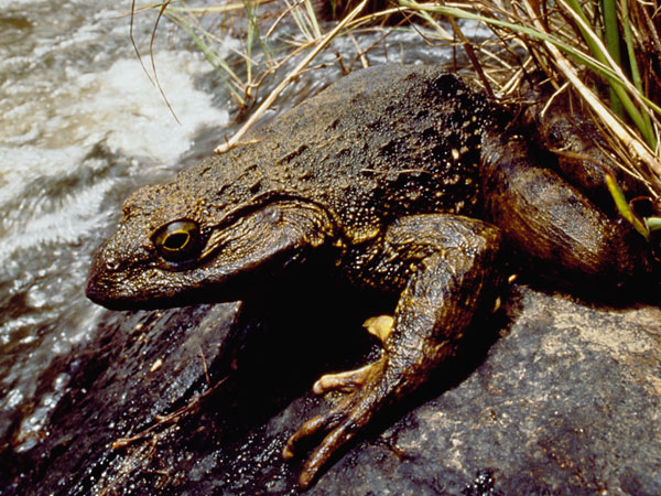 Do Goliath Frogs Live On Land Or In Water 3
