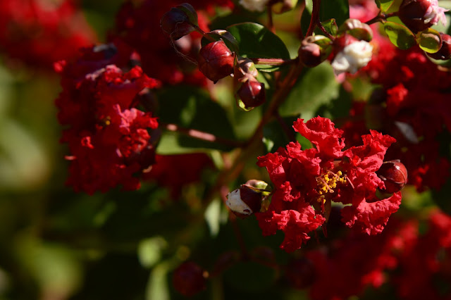 lagerstroemia indica, dynamite, crape myrtle, small sunny garden, desert garden, amy myers, photography, garden bloggers foliage day