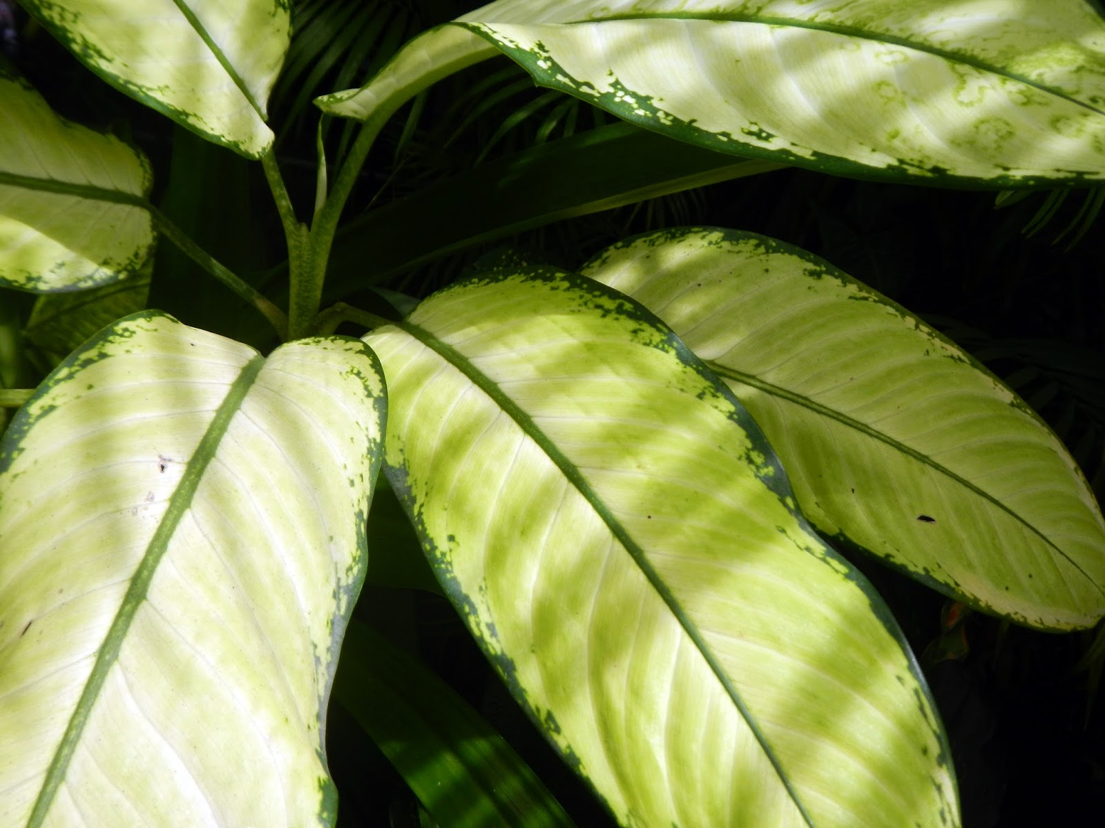 Large Leaf Houseplant Searching For Nature In Yangon Part One