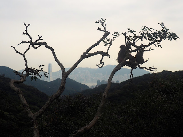 Monkeys in a tree with view overlooking Central skyline, the Peak and the ICC, at the end of Monkey Mountain hike, New Territories, Hong Kong