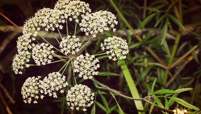 Plantas venenosas de jardín