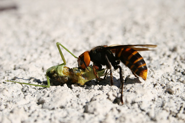 Asian Giant Hornet facts and information 7
