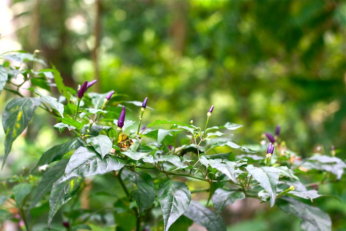 purple chillies at penang tropical spice garden