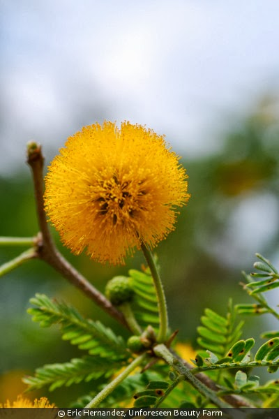 Acacia Flower Uses - Same Day Flower Delivery