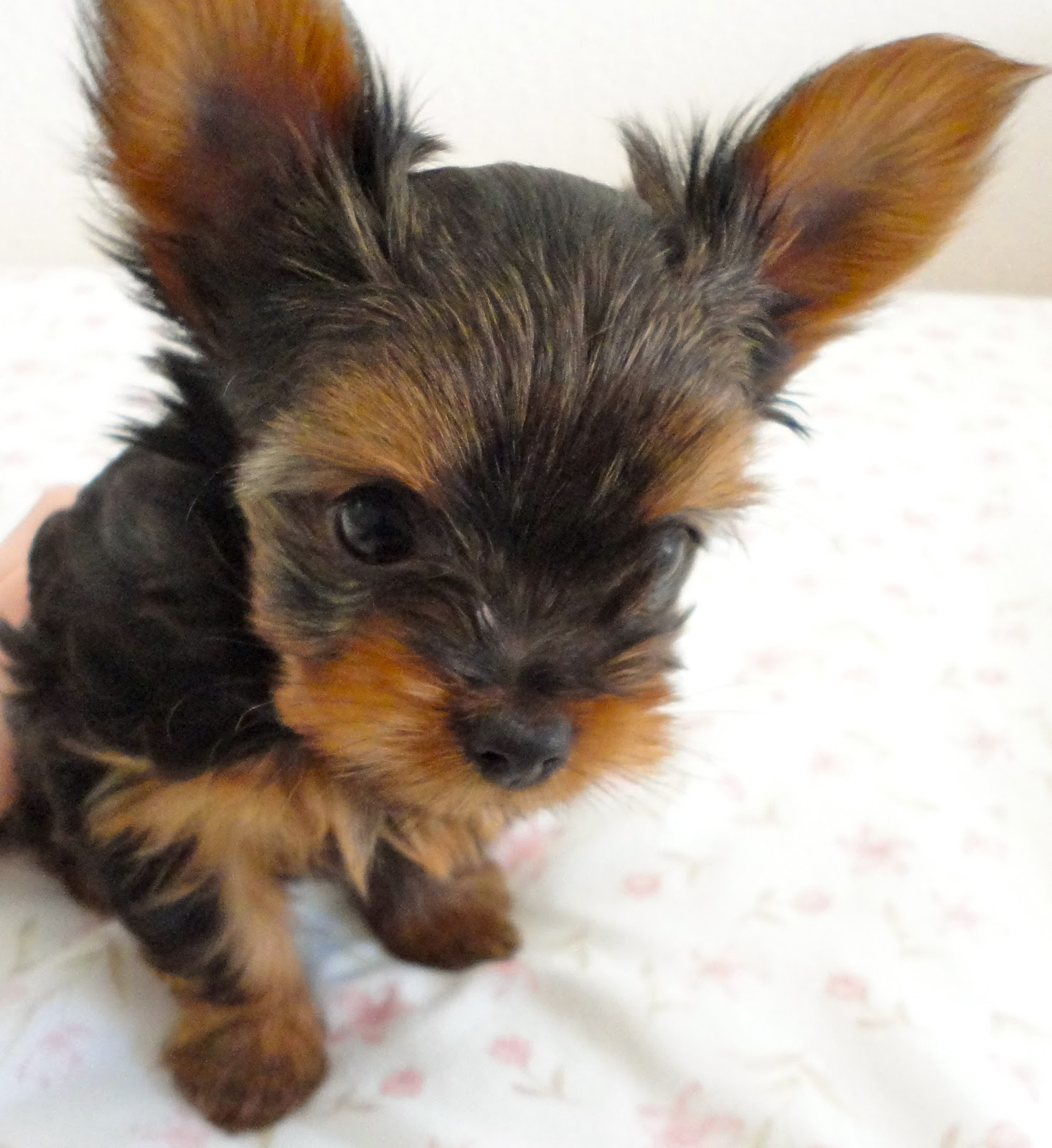 Courtney S Akc Yorkies Puppies 7 Weeks Old