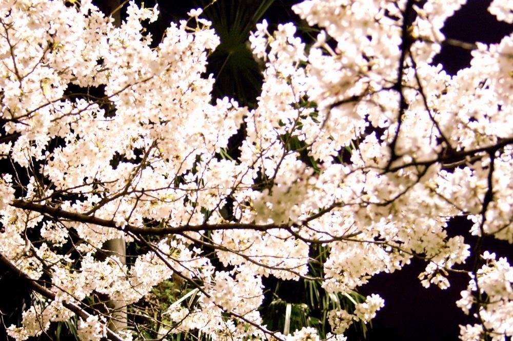 桜の八分咲き、赤き心