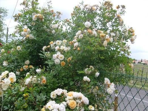 ma plan te jardin ghislaine de f ligonde un rosier exub rant et romantique. Black Bedroom Furniture Sets. Home Design Ideas