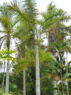 Palmier plume - Palmier de Madagascar - Dypsis madagascariensis