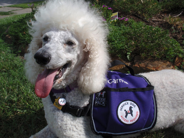 White standard poodle, carmapoodale, in purple service vest