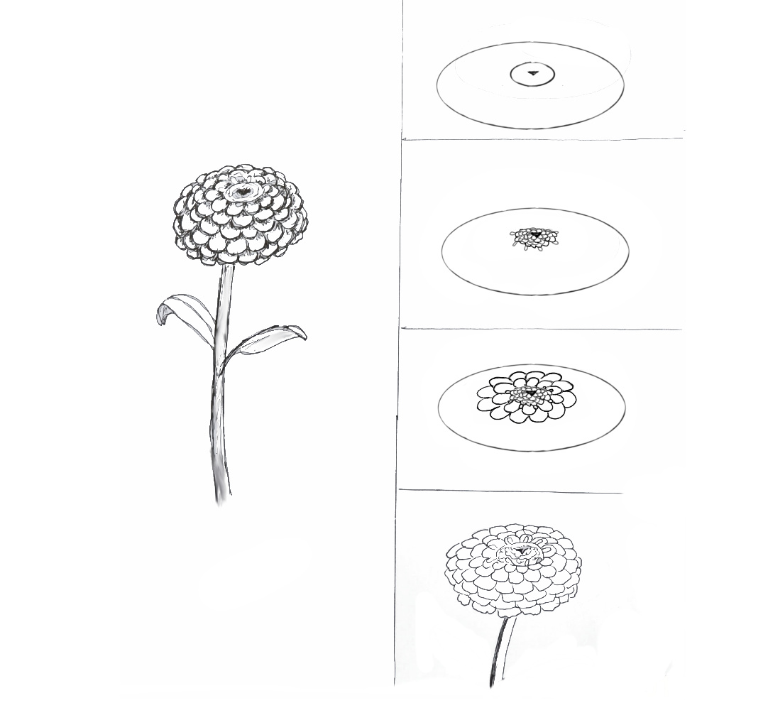 Zinnia Line Drawing : Zinnias art class ideas