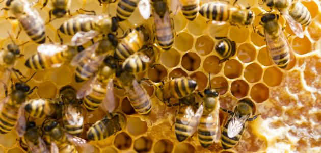 عائلة النحل