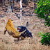 Бърнеста мечка спасява малкото си в схватка с тигър (видео)