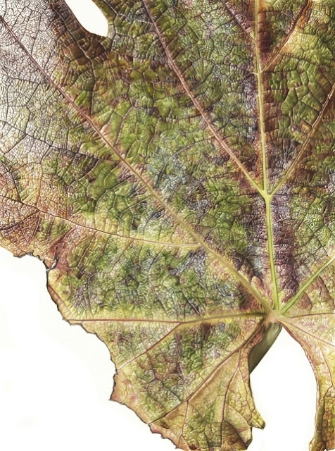 Grape Vine (Vitis vinifera) painting by Inky Leaves