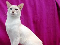 Keunikan Kucing Javanese Yang Belum Banyak Diketahui Publik