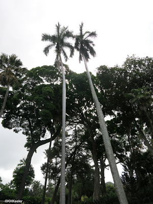 Cuban royal palms, Roystonea regia at Foster Garden, Honolulu