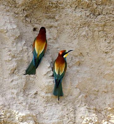 Abejarucos en sus nidos