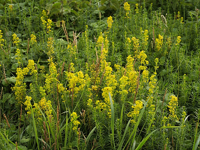 Large clump of lady's bedstraw among grass and nettles