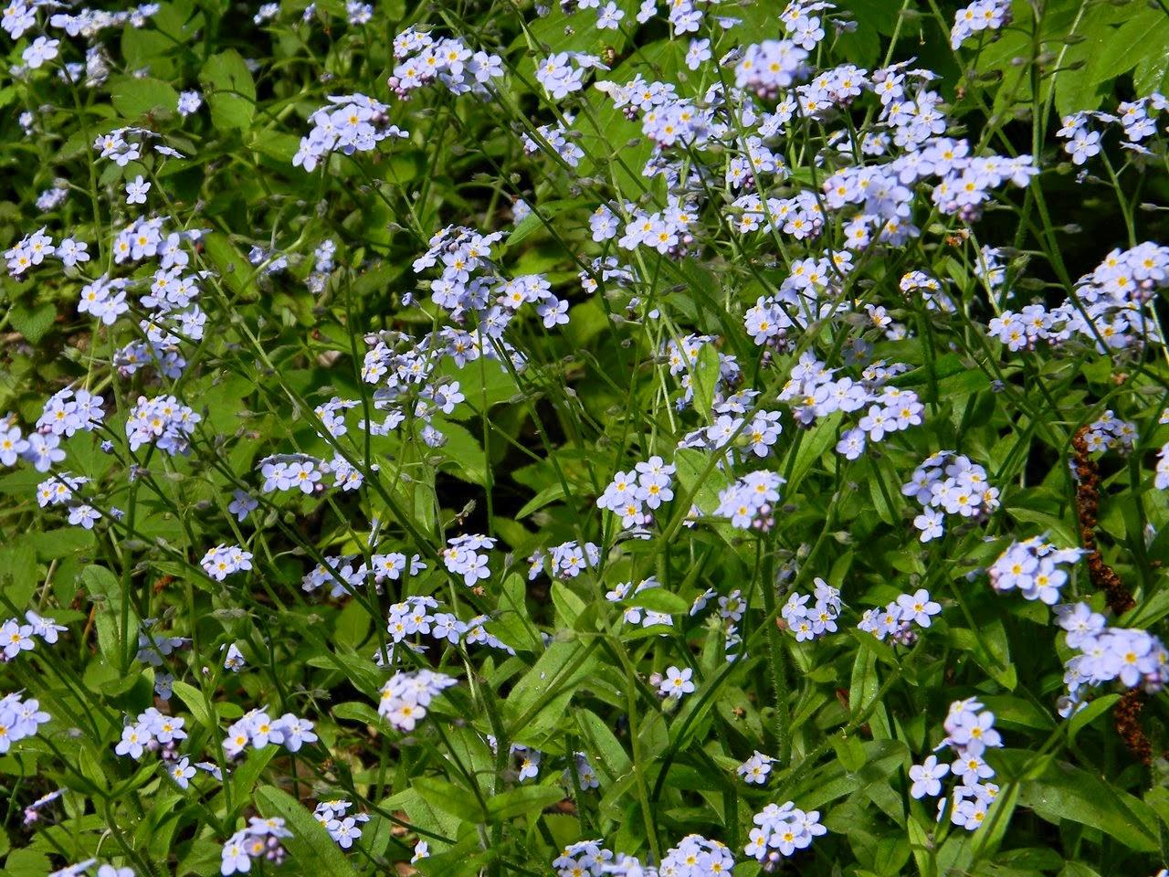 łąka, niebieski kobierzec